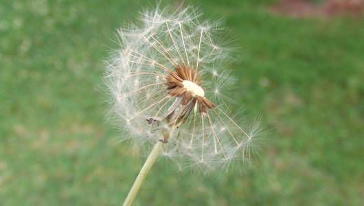 Dandelion and grass allergies