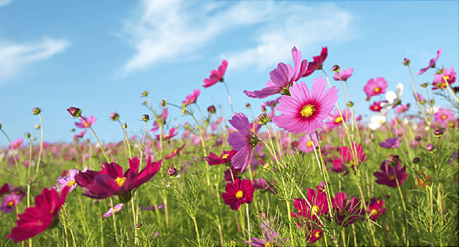 cosmos flowers allergies